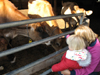 Feeding the baby cows